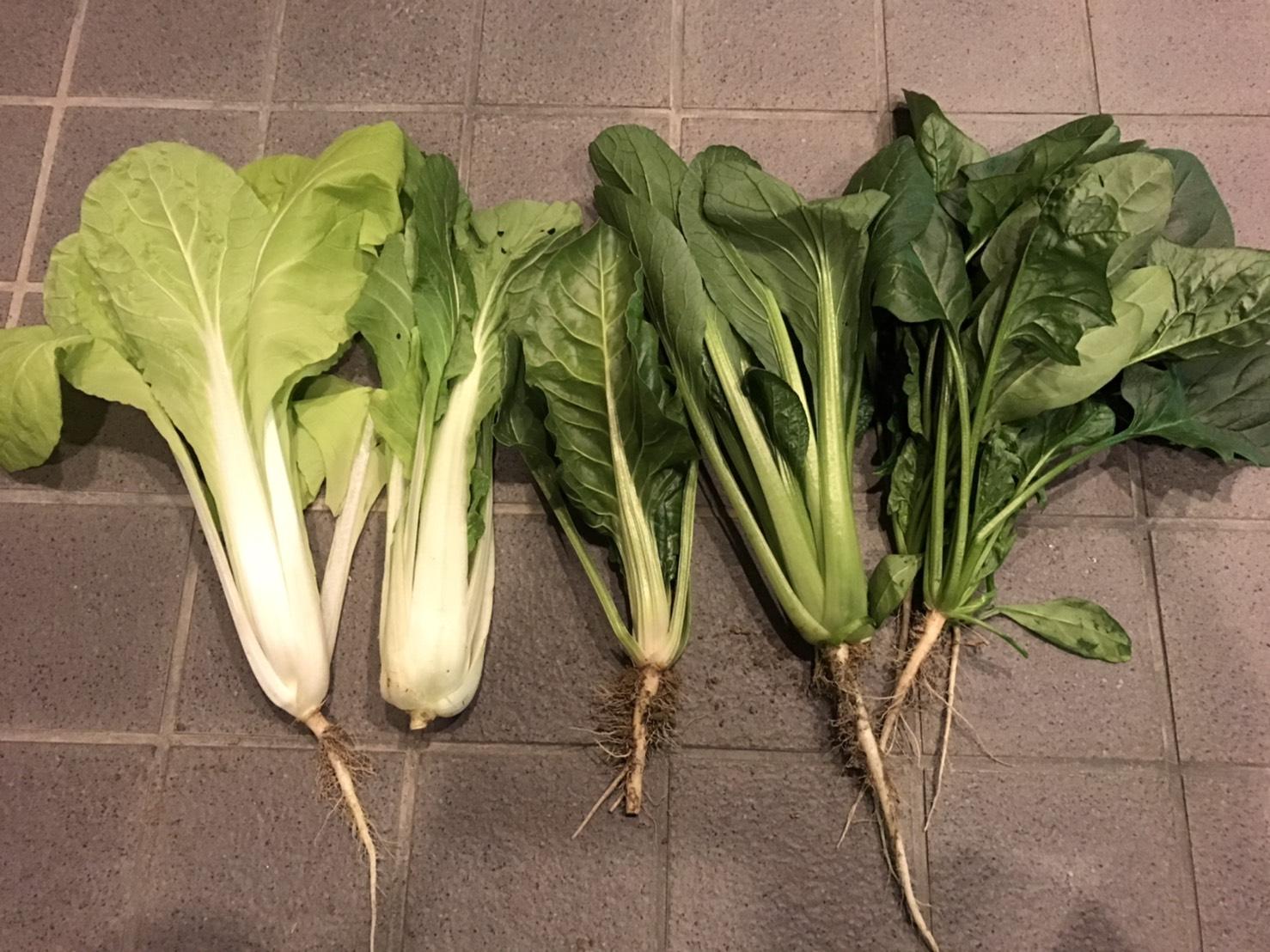 野菜品種-金都菜